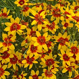 Coreopsis Curry Up - Coreopsis lg pot
